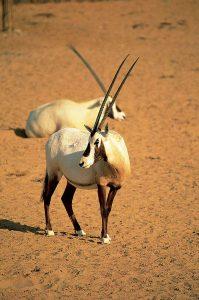 أحد حيوانات المها العربية التي تعيش في المحميةالصحراوية المحيطة بفندق المها-دبي